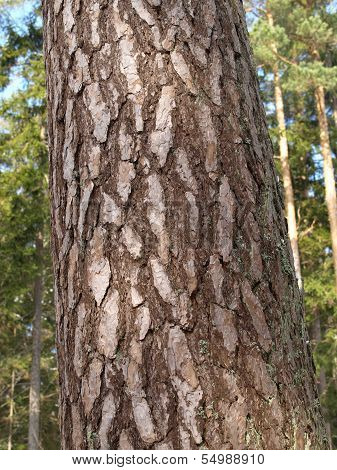 Bark from scots pine tree