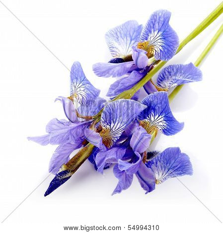 Flowers Of A Blue Iris.