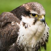 picture of small-hawk  - Sparrow hawk or American kestrel in close view  - JPG