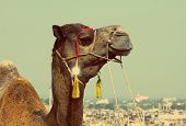 Pushkar Camel Fair - camel during festival in Pushkar India - vintage retro style