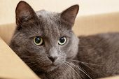 foto of catnip  - british shorthair cat in the box pretty looking - JPG