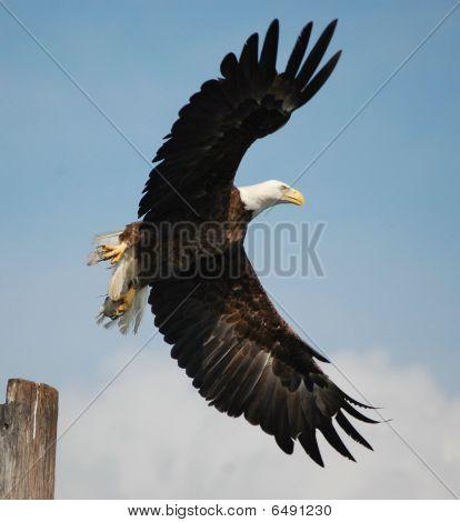 Female Bald Eagle.