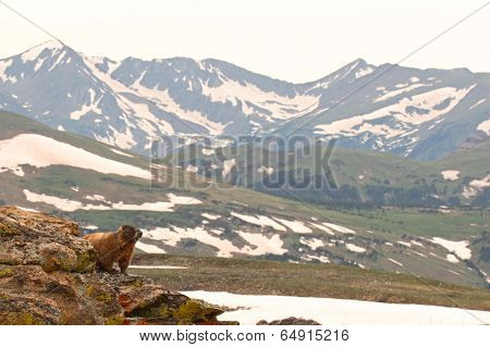 Marmot Looking Out