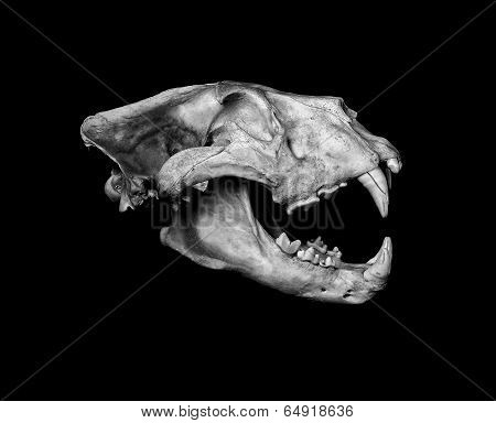 African Lion Skull (pantera Leo).
