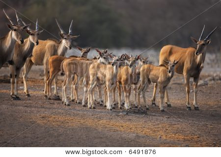 Eland Calves And Cows