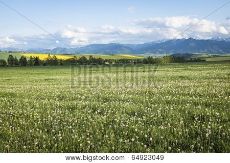 Meadow With White Dandelions