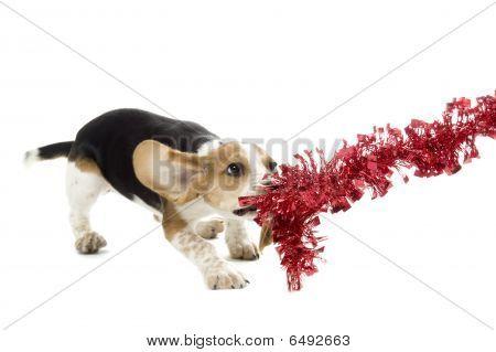 Beagle Puppy Tug O' War