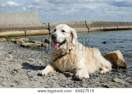 Portrait Of Friendly Golden Retriever Dog on The Beach At Sunny Day