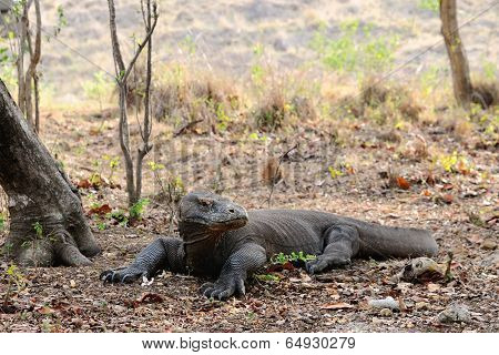 Alarmed Komodo Dragon