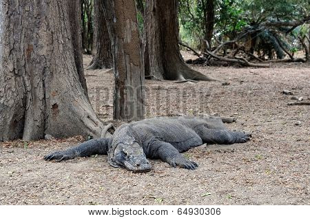 Lying Komodo Dragon