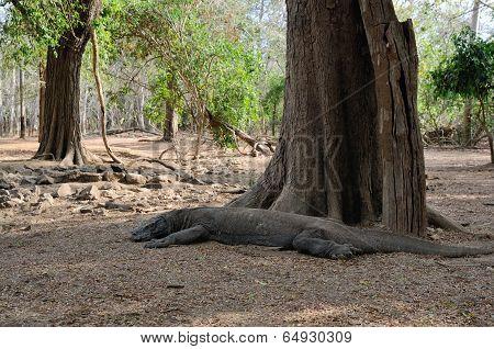 Meditating Komodo Dragon