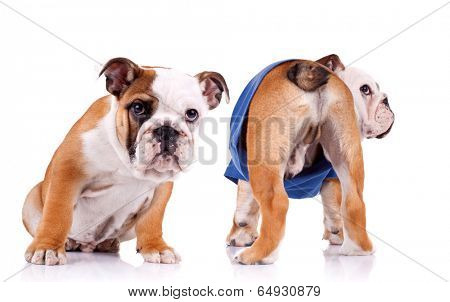 two english bulldog puppies are looking at something, one is sitting and one is standing with tail to the camera