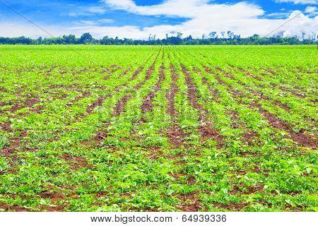 Rows of potato plants