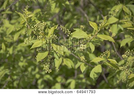 Bird Cherry Tree Branch