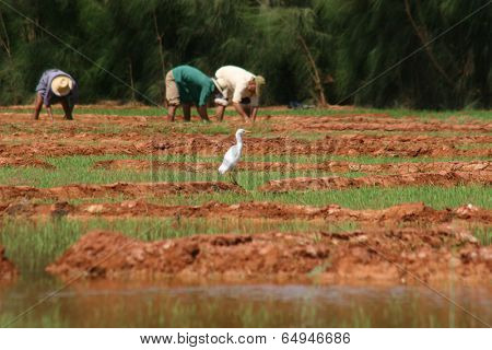 Bird on a rice fields