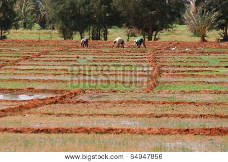 Workers on a rice fields