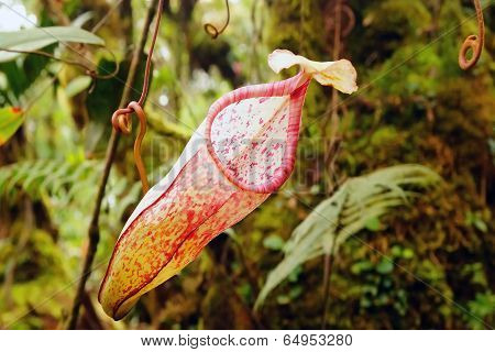 Nepenthes, tropical pitcher plants.