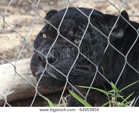A Close Up Black Panther In A Zoo