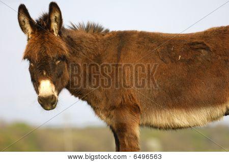 Prick-eared donkey