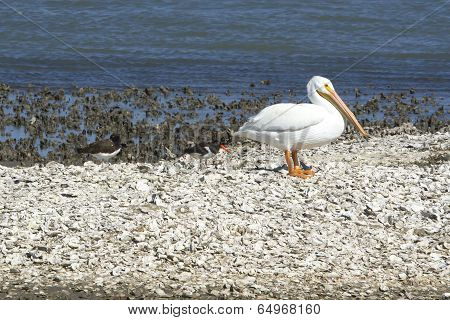 White Pelican and Oyster Catchers