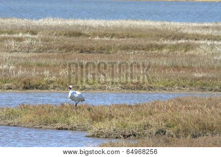 Whooping Crane at Aransas Pass
