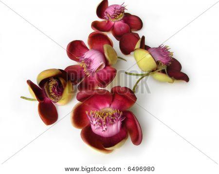 Cannonball Flower Twenty Two
