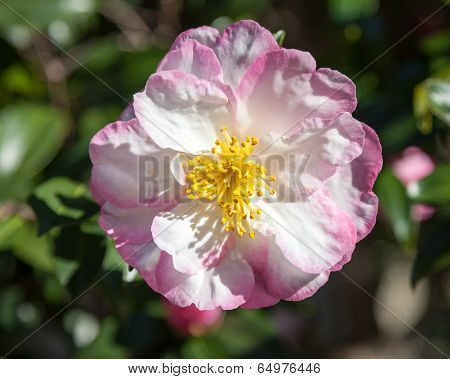 Camellia Sasanqua Wahroonga Flower On The Tree