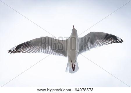 Australian Silver Gull Flying Above