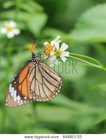 Common Tiger butterfly(Danaus genutia) - butterfly and blooming flowers