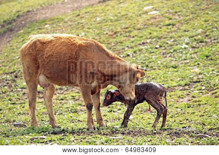 Mother cow with newborn calf