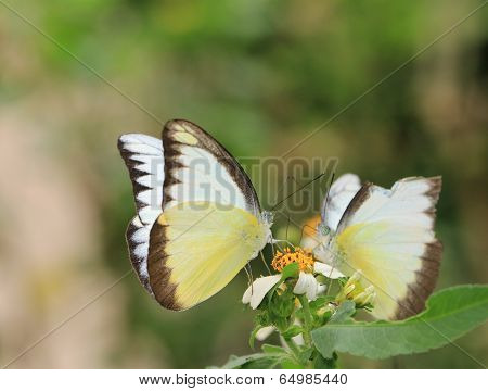 butterflies, Appias lyncida eleonora