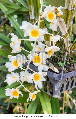 Yellow Orchid, Dendrobium Farmeri Paxton.