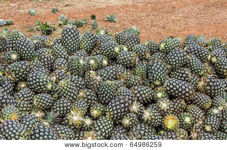 Group Of Pineapple Fruit In Farm.
