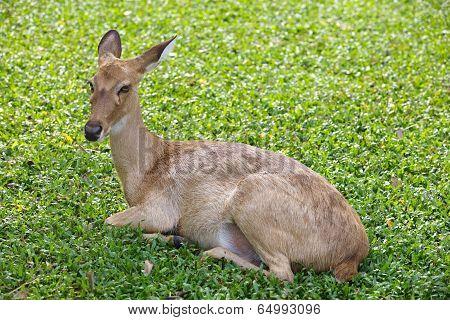 close - up Eld s Deer in wild nature