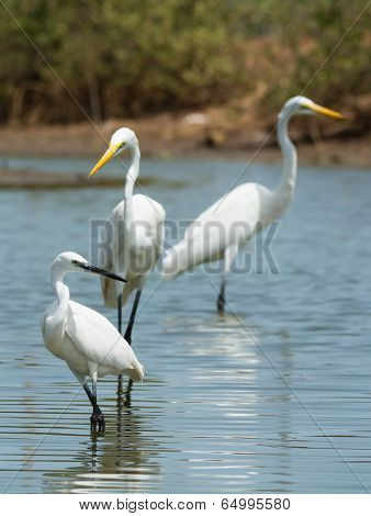 A White Western Reef Heron (egretta Gularis) Posing With 2 Great White Egrets (egretta Alba)