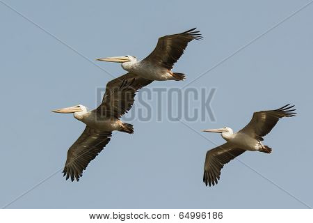 Three Pink-backed Pelicans (pelecanus Rufescens) In Flight