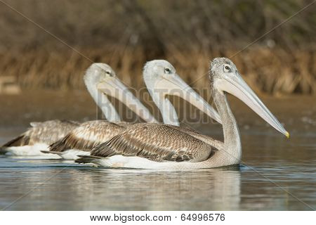 Three Pink-backed Pelicans Swimming Side By Side