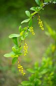 stock photo of barberry  - Closeup of spring flowers and fruits of Barberry plant  - JPG