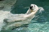 picture of polar bears  - polar bear swimming - JPG