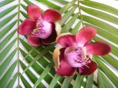 picture of cannonball-flower  - Beautiful exotic and fragrant Cannonball flower is found in Asia Africa and in South America in Amazon rain forests - JPG