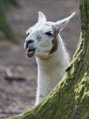 image of lamas  - Lama with dark nature background close up - JPG