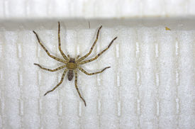 stock photo of huntsman spider  - huntsman spider is on the wallpaper in the house - JPG
