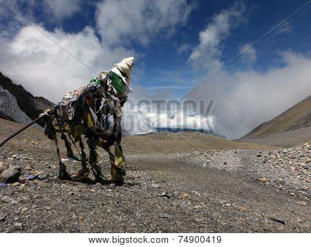 Large Prayer Flag At 5400M In Himalayas