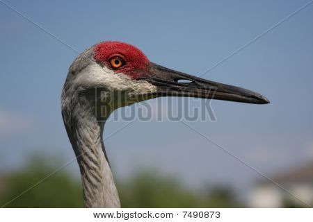 Head Of A Sandhill Crane