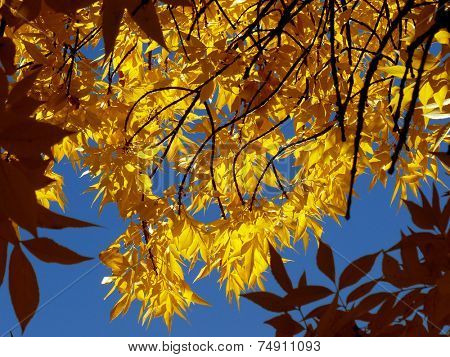 ash-tree twigs with fall golden leaves