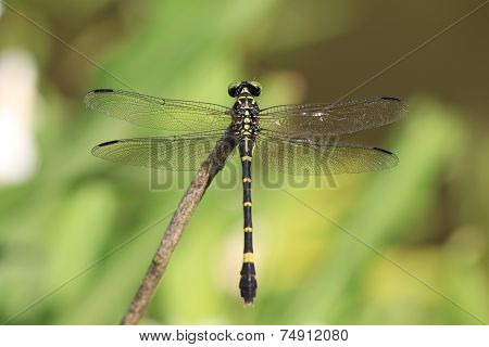 Anotogster Sieboldill dragonfly