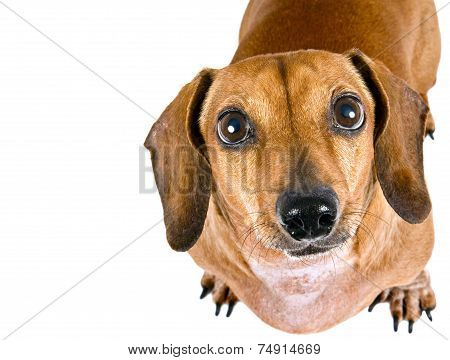 Dachshund Wiener Dog Looking Up