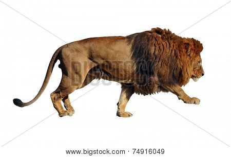 Isolated on white background lion body profile