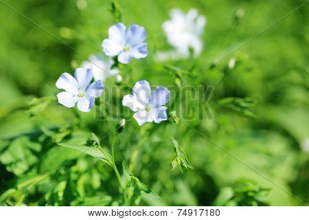 Beautiful flax in the field
