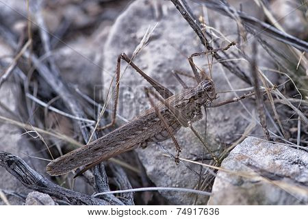 Giant Grasshopper (Caelifera) Near Grand Canyon, Arizona, USA